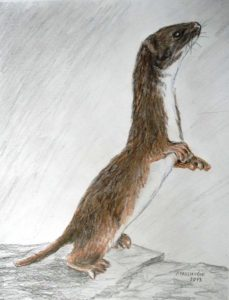 drawing, colored pencil, Least Weasel, Illustration by Peter Pavluvcik.